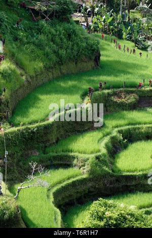 Les terrasses de riz de Tegallalang à Ubud, Bali, Indonésie Banque D'Images