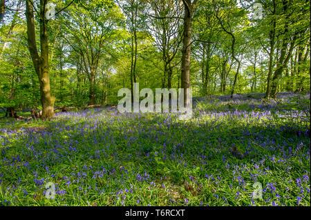 Un affichage glorieux de jacinthes et ail sauvage pour les randonneurs et les photographes comme dans le bois de printemps, près de Whalley, Lancashire. Le beau temps est défini Banque D'Images