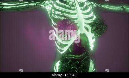 La science de l'anatomie du corps humain dans x-ray avec squelette bones Banque D'Images