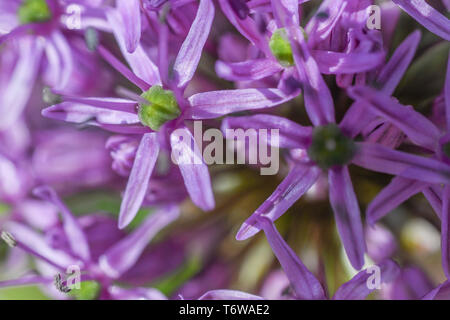 Gros plan de fleur d'Allium - Extreme close up d'Allium Purple Sensation dans Spring garden bed - violet fond vert ampoule floraison vivace Banque D'Images