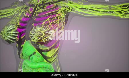 Illustration du modèle du corps humain Banque D'Images