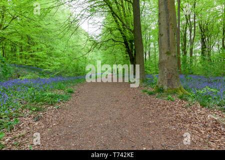 Bois Bluebell magnifique dans le Wiltshire, Angleterre