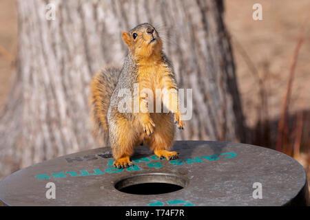 Red Fox écureuil roux (Sciurus niger) debout sur un bac pour les boîtes et bouteilles dans un parc à côté d'un arbre, Fort Collins, Colorado, États-Unis d'Amérique Banque D'Images