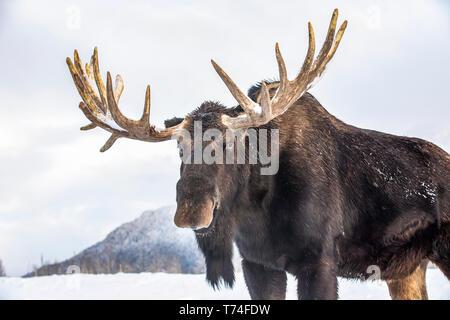 Bull mature l'orignal (Alces alces) portant des bois de velours remise debout dans la neige, Alaska Wildlife Conservation Center, le centre-sud de l'Alaska