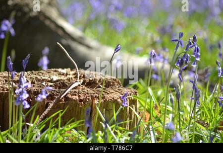 Printemps, Hyacinthoides non-scripta {} Bluebell commun