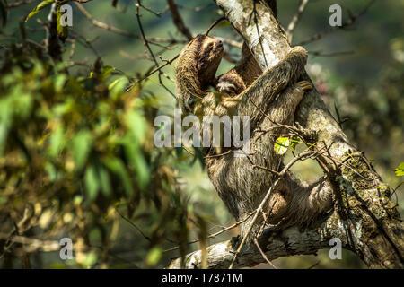 Trois-toed sloth avec son bébé dans un arbre d'escalade Banque D'Images