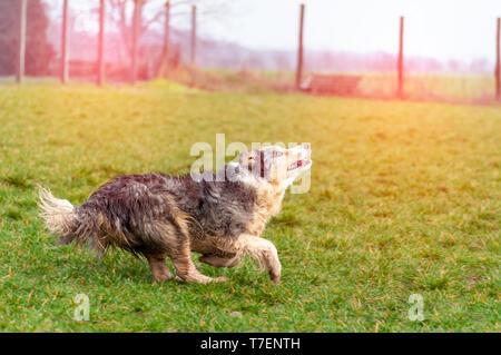 Un magnifique border collie chien qui court sur un champ vert un jour de printemps. Banque D'Images