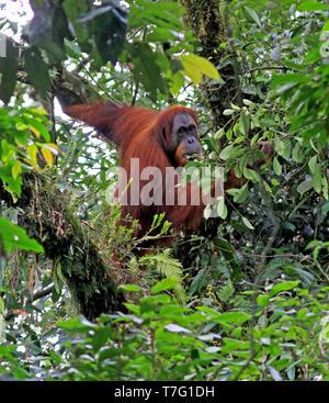 L'orang-outan de Sumatra (Pongo abelii) dans des forêts tropicales de Sumatra en Indonésie. Banque D'Images