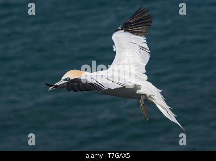 Fou de Bassan, Morus bassanus, à Bempton Cliffs, en vol au-dessus de la mer, UK