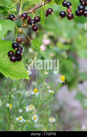 Cassis mûr sur la branche avec des feuilles vertes dans le jardin de fleurs de camomille et blanc sur l'arrière-plan. Profondeur de champ. Focu sélective Banque D'Images