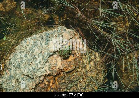 Petite grenouille verte sur l'eau et de la végétation en pierre entre dans une journée ensoleillée de Serra da Estrela. La plus haute chaîne de montagne au Portugal continental. Banque D'Images