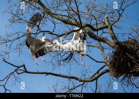 Cigogne Blanche (Ciconia ciconia). Deux oiseaux se battre pour un nid dans un arbre. Allemagne Banque D'Images