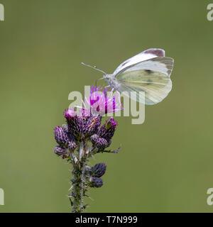 Large White (Pieris rapae), sucer le nectar des chardons. L'Autriche