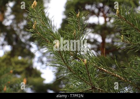 L'origine de pommes de pin. De nouvelles aiguilles sur le pin. Les nouveaux cônes de pin. La direction générale de pins avec de jeunes cônes.