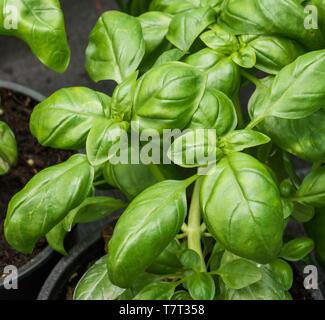 Les plantes de basilic sur une table dans une serre vu à la lumière du jour Banque D'Images
