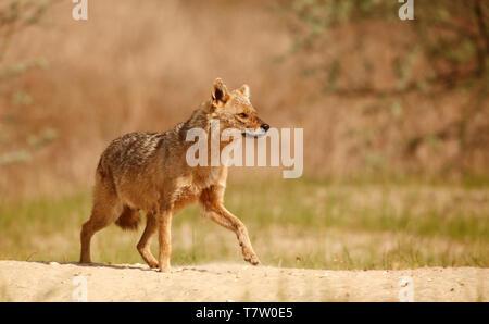 Une alerte femme Golden Jackal, Canis aureus, marcher sur le sable dans le Delta du Danube, région de l'est Roumanie