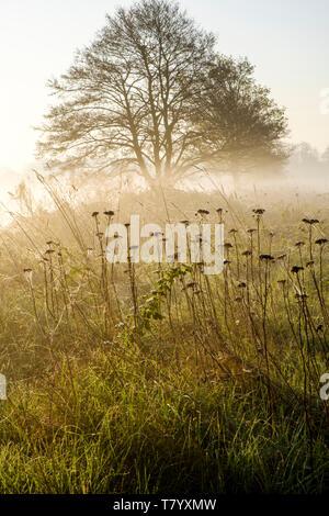 Brume matinale au printemps. Un arbre dans la campagne brumeuse peu après l'aube, près de Lady Bay, Lancashire, England, UK Banque D'Images