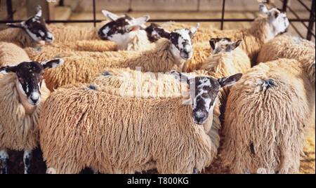 En attente des moutons dans un enclos, Ovis aries, en attente d'enchère à un Yorkshire marché au bétail. Banque D'Images