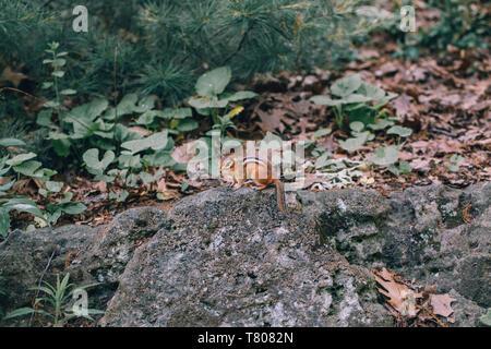 Brun-jaune à rayures petit mignon spermophile chipmunk assis sur stone rock en forêt d'automne entre les arbres, les feuilles et les plantes. Animaux sauvages naturelles mi Banque D'Images