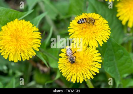 Deux gros plan sur le pissenlit abeille, lumière du jour ensoleillé Banque D'Images