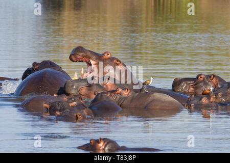L'Hippopotame (Hippopotamus amphibius), troupeau avec de jeunes hippo, un adulte combats, empilés l'un sur l'autre, le bain, avec deux jacanas africain,Kruger NP Banque D'Images