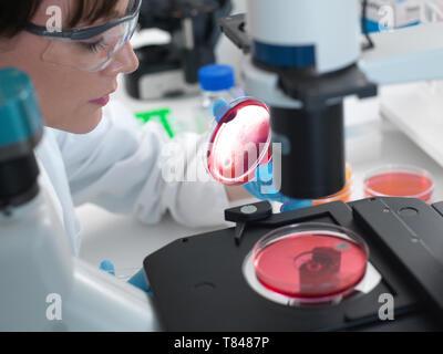 L'examen scientifique des cultures poussant dans des boîtes de Pétri à l'aide d'un microscope inversé in laboratory Banque D'Images