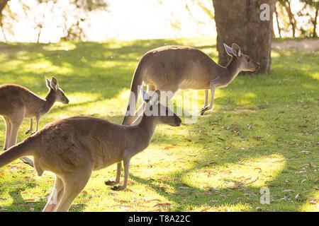 La famille kangourou d'exécution. Perth, Australie occidentale, Australie. Banque D'Images