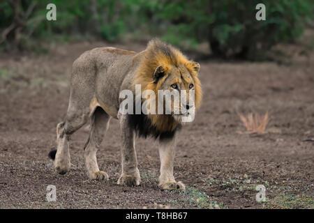 Mâle mature lion Panthera leo traque le Gnou bleu Parc National Kruger en Afrique du Sud Banque D'Images