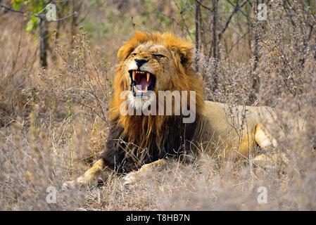 Lion à crinière sombre Panthera leo grondant dans la savane du Parc National Kruger en Afrique du Sud Banque D'Images