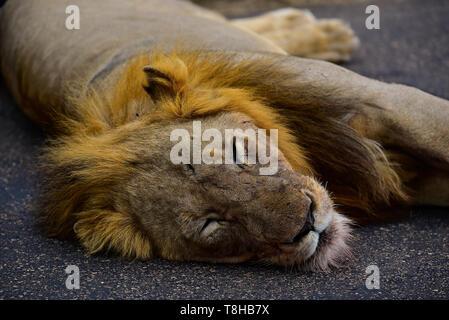 Lion à crinière sombre Panthera leo dormir dans le soleil de l'après-midi le Parc National Kruger en Afrique du Sud Banque D'Images