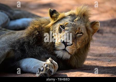 L'accouplement et la crinière d'un lion Panthera leo sombre du Parc National Kruger en Afrique du Sud Banque D'Images