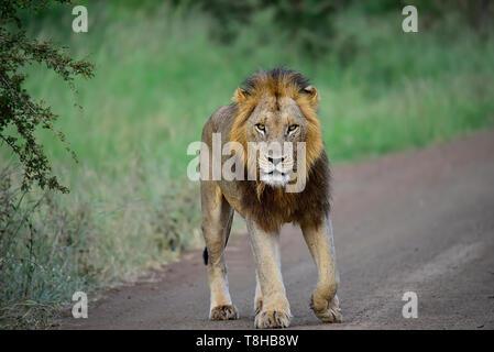 Lion à crinière sombre Panthera leo patrouiller territoire Parc National Kruger en Afrique du Sud Banque D'Images