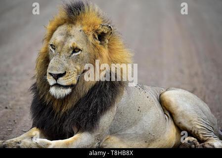 Lion à crinière sombre Panthera leo tôt le matin le Parc National Kruger en Afrique du Sud Banque D'Images
