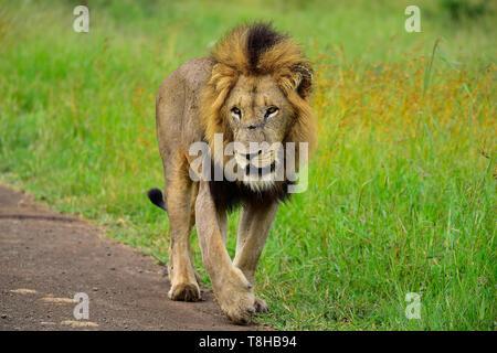 Mâle mature lion Panthera leo patrouiller le territoire du Parc National Kruger en Afrique du Sud Banque D'Images