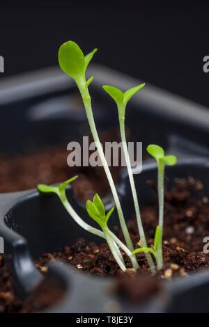 Gros plan vertical de six jeunes plants dans un terreau noir bac. faible profondeur de champ. Banque D'Images