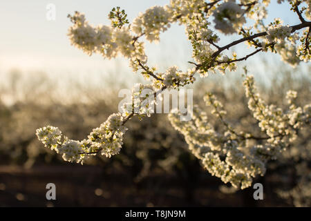 Domaine de pruniers qui fleurit au printemps. Close-up de prunier branche avec des fleurs blanches. Fleurs blanches en arrière-plan un golden sunset Banque D'Images