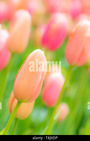 Tulipes orange et rose & tulip bed - jardins de Keukenhof - fleurs de printemps tulipes en Hollande - aux Pays-Bas - Tulipa Liliacées espèce - famille Banque D'Images