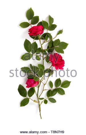 Motif de roses rouges sur fond blanc Banque D'Images