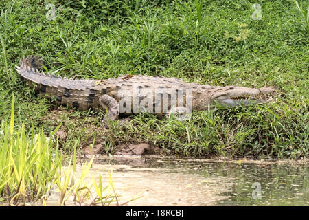 Crocodile américain, près de Laguna de Lagarto, le Costa Rica le 31 mars 2019