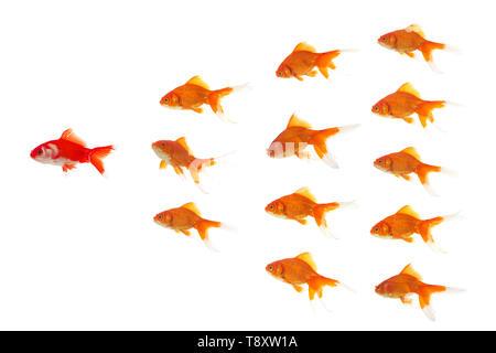 Goldfishes en formation, est à la tête du poisson rouge rouge Banque D'Images