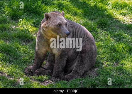 Polar bear - Ours brun ours polaire hybride / hybride grizzly-également appelé Ours ours grolar / pizzly / nanulak, rare hybride des ursidés. Banque D'Images