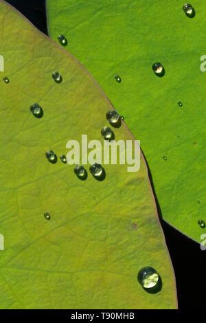 Gouttes d'eau sur les feuilles de lotus au Mexique Banque D'Images