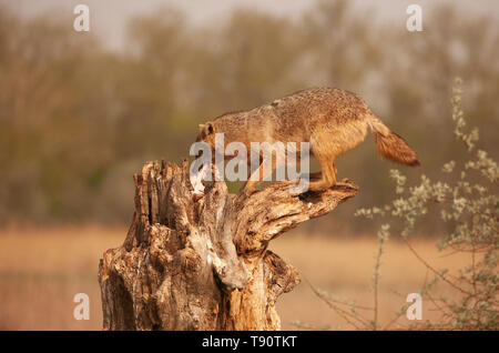 Une nature sauvage, le chacal doré, Canis aureus, 'voler' un poisson qui a été laissé de côté comme appât, dans la Réserve de biosphère du delta du Danube en Roumanie de l'Est
