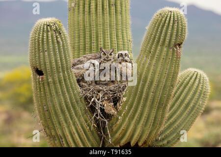 Le grand-duc d'Amérique (Bubo virginianus), en nid dans saguaro cactus, (Carnegiea gigantea), désert de Sonora , Arizona Banque D'Images
