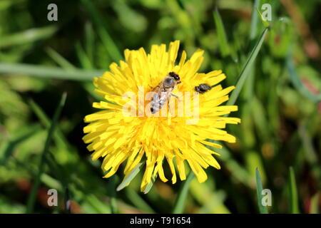Abeille et deux petites mouches sur haut de pissenlit Taraxacum ou en fleurs fleur jaune ouvert entouré de vert l'herbe non coupée sur le printemps chaud et ensoleillé Banque D'Images