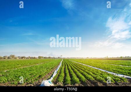 Les plantations de pommes de terre avec des terres agricoles. Accroître les légumes organiques dans le domaine. Les rangées de légumes. L'agriculture. L'agriculture. Selective focus Banque D'Images