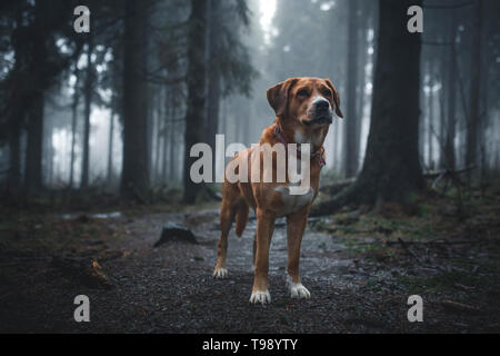 Labrador chien chien de Montagne Suisse bâtard dans la Red Moor, Rhön, Allemagne