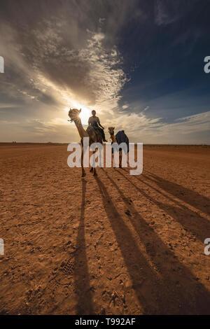 Vue du coucher de soleil avec des chameaux après la grande course, l'Arabie Saoudite Banque D'Images