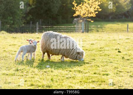 Une brebis avec agneaux dans un champ sur une ferme, dans le Yorkshire, UK Banque D'Images