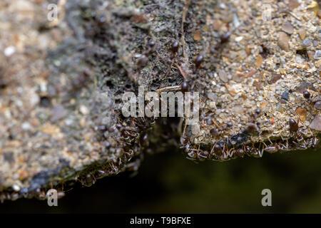 Essaim d'occupé fourmis noires (Lasius niger) dans un jardin Banque D'Images